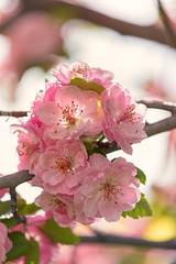 Crab Apple Blossoms [Explore] (mclcbooks) Tags: flower flowers floral macro closeup crabapple tree fruit spring blooms blossoms denverbotanicgardens colorado