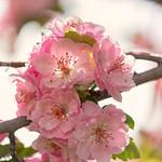 Crab Apple Blossoms [Explore] thumbnail