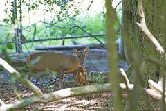 Muntjac and young (ArtGordon1) Tags: eppingforest england uk may 2018 davegordon davidgordon daveartgordon davidagordon daveagordon artgordon1 nature muntjacdeer barkingdeer