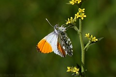 Orange tip butterfly 0010(6D4) (wildlifetog) Tags: mbiow martin marsh blackmore britishisles britain brading isleofwight uk wild wildlife insect butterfly orange tip nature canon england eos7d eos6d