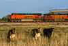 Mooving Across the Field (Colorado & Southern) Tags: bnsfrailway bnsf bnsfes44c4 gees44c4 gec449w manifest manifesttrain trains train railfanning railroad railfan railway railroads railroading rail rr railroadtrack colorado coloradorailroads coloradotrains cows cow