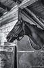 Rach horse- Golden Gate Fields (angela.hinckley) Tags: just4fun racetrack blackwhite horses blackandwhite leica leicacamera barn stalls vluxleica camerawest vluxvluxstablei like itv luxbarnblack whiteblackwhiteblackwhiteblackandwhitecamerawesti itleicaleicacamerav lux stable it