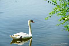 DSC09161 (opnwong) Tags: 2018 a7sii sony swan birds lake