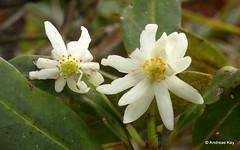 Drimys granadensis, Winteraceae (Ecuador Megadiverso) Tags: andreaskay cordilleradelcóndor ecuador elquimi flower drimysgranadensis winteraceae