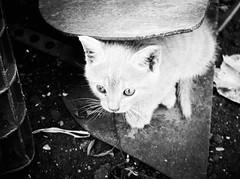 3756 - Giulio (Diego Rosato) Tags: giulio gatto cat gattino kitten animale animal pet bianconero blackwhite rawtherapee fuji x30