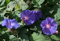 Purple Morning Glory Flowers And Their Inner Light (Wolfgang Bazer) Tags: purple morning glory purpurprunkwinde ipomoea purpurea blossoms flowers blüten
