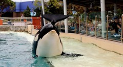 Lunch with Orca (Prayitno / Thank you for (12 millions +) view) Tags: konomark orcinus orca killer whale lunch program special arrangements sw sea world sd san diego ca california outdoor activity tourist incentive group idea day time maksi makan siang water show presentation animal