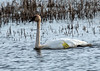IMG_4714 Trumpeter Swan (suebmtl) Tags: bird birding ontario longpoint norfolkcounty trumpeterswan tagged study r63 canada