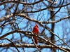Fiery (mmcpix) Tags: cardinal red bird trees spring nature naturecenter bluesky enjoyillinois emilyoaksnaturecenter