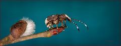 Besuch vom Breitrüssler (emmy_4) Tags: breitrüssler anthribidae makro macro platystomos albinus nahaufnahme canon sigma käfer