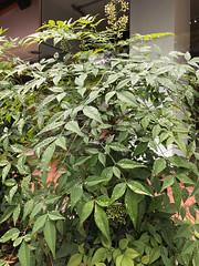 IMG_4644XX20170525.jpg (rachelgreenbelt) Tags: usa northamerica nature nandinaall 710natural orderranunculales friendshipheights eudicots colorswhiteyellowgreen midatlanticregion colorgreen montgomerycounty americas maryland nandinadomestica familyberberidaceae waterdrops notpgcounty berberidaceae berberidaceaefamily magnoliophyta midatlantic floweringplants oneplant ranunculales ranunculalesorder singleplantportrait spermatophytes chevychase unitedstates us