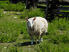 A sheep at The Log Farm in Nepean (Ottawa), Ontario (Ullysses) Tags: thelogfarm lavieilleferme nepean ottawa ontario canada spring printemps sheep mouton ferme farm abrahambradley