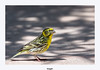 Serin Cini (gilbert.calatayud) Tags: europeanserin fringillidés passériformes serincini serinusserinus bird oiseau graulhet tarn occitanie