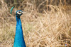 Sneak into your World (Shikher Singh) Tags: peacock bird grass jungle forest wildlife pastures aravali delhi shikhersimagery