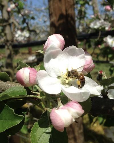 abeille sur une fleur de pommier