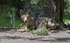 Akron Zoo 06-06-2014 - Coyote 3 (David441491) Tags: coyote canine akronzoo