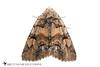 Brown-spotted Zale - Hodges#8704 (Zale helata) 20180324_4632.jpg (Abbott Nature Photography) Tags: organismseukaryotes whiteseamlessbackground erebidaetigermothslichenmoths insectainsects pterygota erebinae invertebratainvertebrates photography neoptera noctuoidea lepidopterabutterfliesmoths endopterygota arthropodaarthropods technique animals hexapoda moth gordo alabama unitedstates us