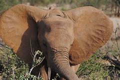 Саванный слон, Loxodonta africana, African Savanna Elephant (Oleg Nomad) Tags: саванныйслон loxodontaafricana africansavannaelephant африка кения самбуру сафари животные природа africa kenya samburu animals nature travel