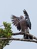 Sri Lanka '17_0830 (Jimmy Vangenechten 76) Tags: geo:lat=836338170 geo:lon=8010062147 geotagged srilanka ceylon asia azië indianocean indische oceaanwildlifeanimalbirddiervogelwilpattu national parkgreen imperial pigeonducula aeneagroene muskaatduif