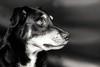 Staring (_John Hikins) Tags: lenny dog dogs stare watch watching staring animal australiankelpie australian kelpie pet nikon nikkor 18 18mm f18 50mm18 boy window light black blackwhite blackandwhite bw monochrome prime