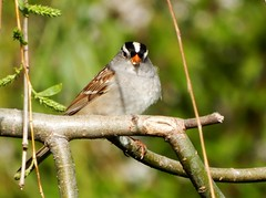 White Crowned Sparrow (starmist1) Tags: whitecrownedsparrow willow branch limb perch leaves april spring weepingwillow
