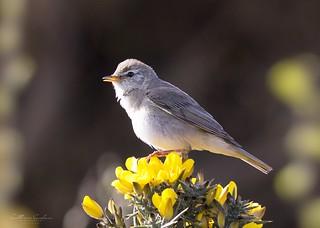 Warbler...