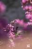 CERTEZZE (Lace1952) Tags: primavera fiori bergenie fioridisangiuseppe natura controlucesfocato fuorifuoco bokeh effetto bolle