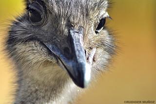 Avestruz Andino (Suri)