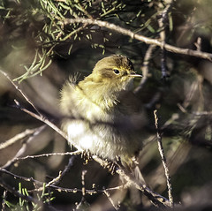 Esturinat (ibzsierra) Tags: esturinat vae bird oiseau canon 7d 100400isusm salinas parque natural