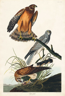 Marsh Hawk from Birds of America (1827) by John James Audubon (1785 - 1851), etched by Robert Havell (1793 - 1878). The original Birds of America is the most expensive printed book in the world and a truly awe-inspiring classic.