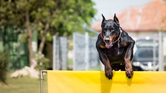 Jolly hurdling (zola.kovacsh) Tags: outdoor animal pet dog dobermann doberman pinscher ipo schutzhund grass meadow