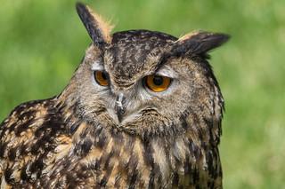 Hibou moyen duc - Long-eared owl