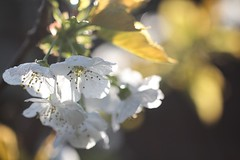 Sunshine Blossom (haberlea) Tags: garden mygarden cherry cherryblossom blossom tree flowers white bokeh light