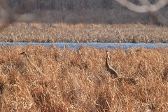 Sandhill Cranes (turn off your computer and go outside) Tags: 2018 antigonecanadensis april birdsofminnesotaandwisconsinpage121 greenbaywestshoreswildlifearea marinettecounty peshtigoharborunit wi wisconsin bird clearskies40degrees critter identified morning nature outdoors sandhillcrane spring