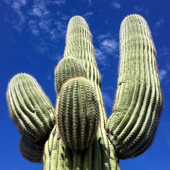 Saguaro cactus (PeterCH51) Tags: usa us arizona tucson saguaro cactus saguarocactus carnegieagigantea saguaronationalpark nationalpark square squareformat iphone peterch51