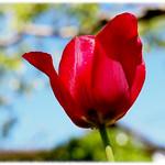 Tulpe thumbnail