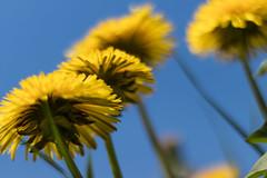 Sun dance (michael_hamburg69) Tags: dandelion löwenzahn flower flowers blossom blossoms macro blüte blüten blumen closeup plant pflanze gelb taraxacum dientesdeleón dentdelion pissenlit hamburg germany deutschland