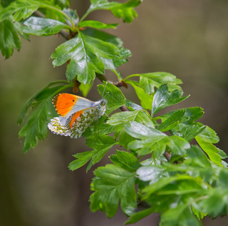 Copulating Orange tip butterflies
