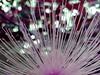 """""""...y exponer las pupilas, en un minuto fraudulento"""" / """"...and expose the pupils, in a fraudulent minute"""" (ix 2017) Tags: planta plant flora violet violeta rosa pink warm cálido gotas drops luz light bokeh cuernavaca morelos méxico mexico israfel67"""