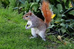 NICE SQUIRREL (GA High Quality Photography) Tags: animal nature beauty beautiful love happy cute summer art fun amazing stunning photography wildlife new popular domesticanimal