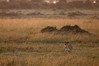 Golden Lioness (MWVVerb) Tags: 2015 kenya mara masai migration triangle wildeye