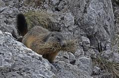 fiero pasto (Paolo Dell'Angelo (JourneyToItaly)) Tags: marmotta passodivalparola provinciadibelluno veneto italia marmot italy