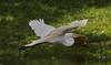 05-16-18-0017929 (Lake Worth) Tags: animal animals bird birds birdwatcher everglades southflorida feathers florida nature outdoor outdoors waterbirds wetlands wildlife wings