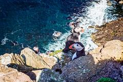 Three on the Rocks (Stoates-Findhorn) Tags: 2018 island bird puffins scotland sutherland handa cliffs scourie unitedkingdom gb