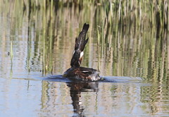 Mission Impossible! (billywhiz07) Tags: gfreat crested grebe bird uk fish tench food