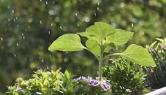 Natural Impact (Robin Shepperson) Tags: green rain weather splash d3400 nikon berlin germany plant raining colours nature flowers foliage leaves light summer yellow garden bokeh