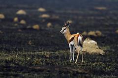 After the veld fire. (Sumarie Slabber) Tags: springbok animal deer anthelope nature sumarieslabber grass burnt