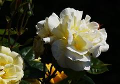 DSC_9995 (PeaTJay) Tags: nikond750 sigma reading lowerearley berkshire macro micro closeups gardens outdoors nature flora fauna plants flowers rose roses rosebuds