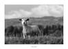 Ready to take on the World (AnthonyCNeill) Tags: lamb youngster attitude nature outdoor black white monochrome tier