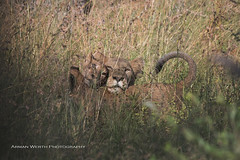 Lions (namra38) Tags: krugernationalpark armanwerthphotography lion lioness cubs southafrica wildlife
